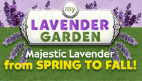 Hardy English Lavender Plants As Seen on TV
