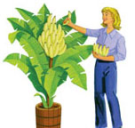 Indoor Banana Tree Plant