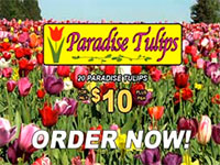 Paradise Tulips - tulip bulbs As Seen on TV