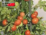 Tree Tomato Giant Tomato Plants