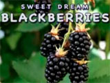 Hardy Giant Blackberries